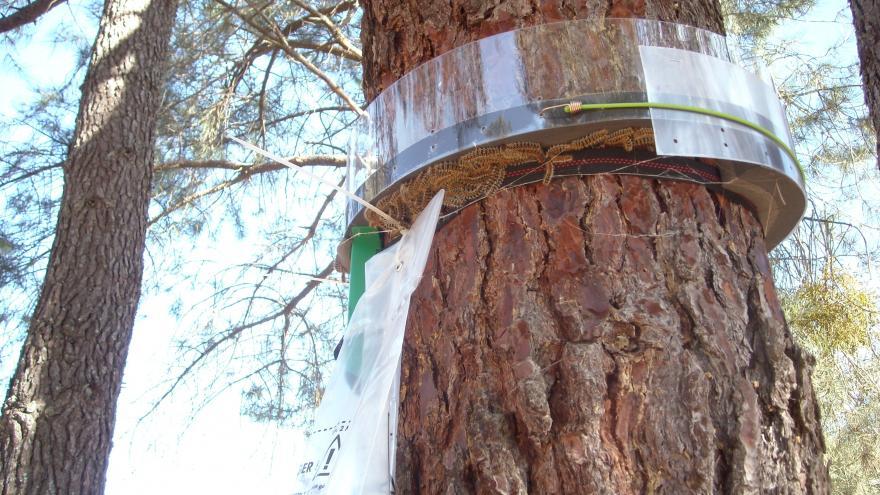 Trampa de collar para procesionaria del pino