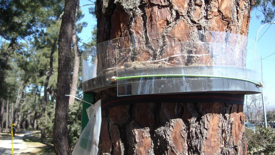 Trampa collar utilizada para procesionaria del pino