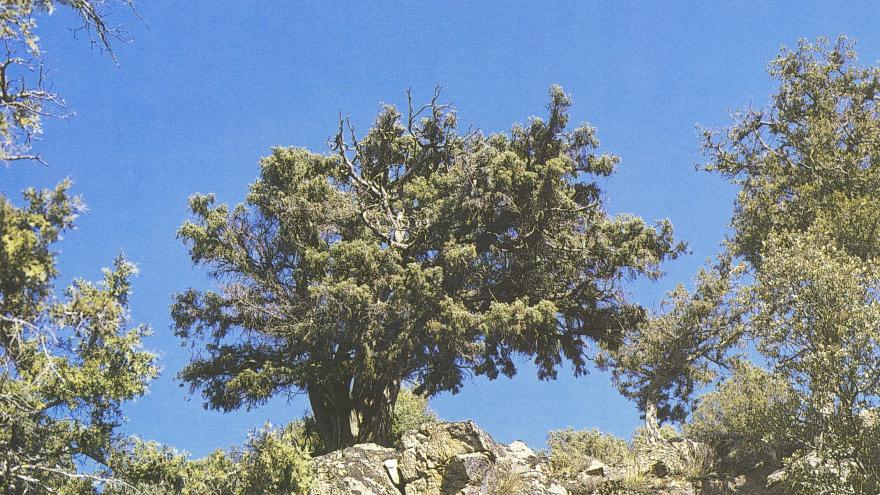 Árbol singular. Enebro de los Canalizos. Lozoya del Valle