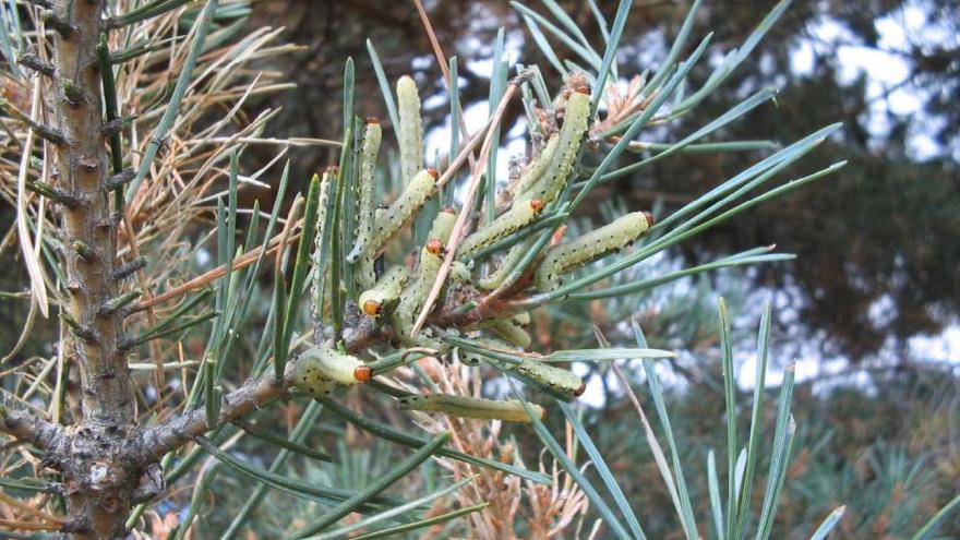 Mosca de la sierra del pino