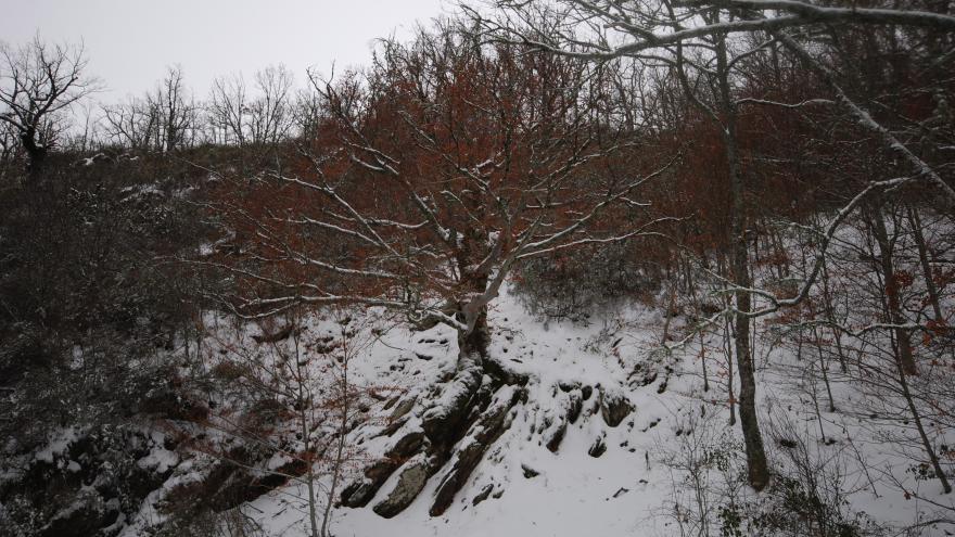 Árbol singular. Haya de la roca. Montejo de la Sierra