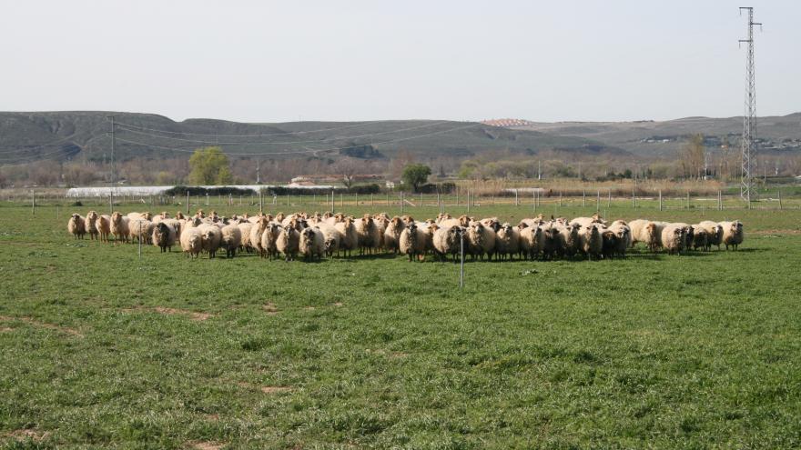 Rebaño de ovejas de las razas Colmenareña y Rubia del Molar