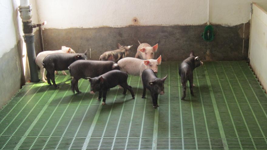 Conjunto de crías de cerdo miniatura