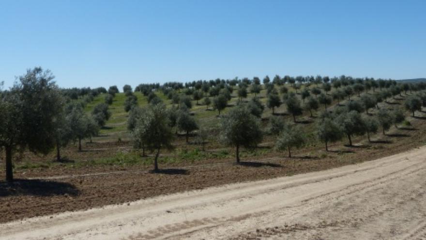 Ensayo olivar