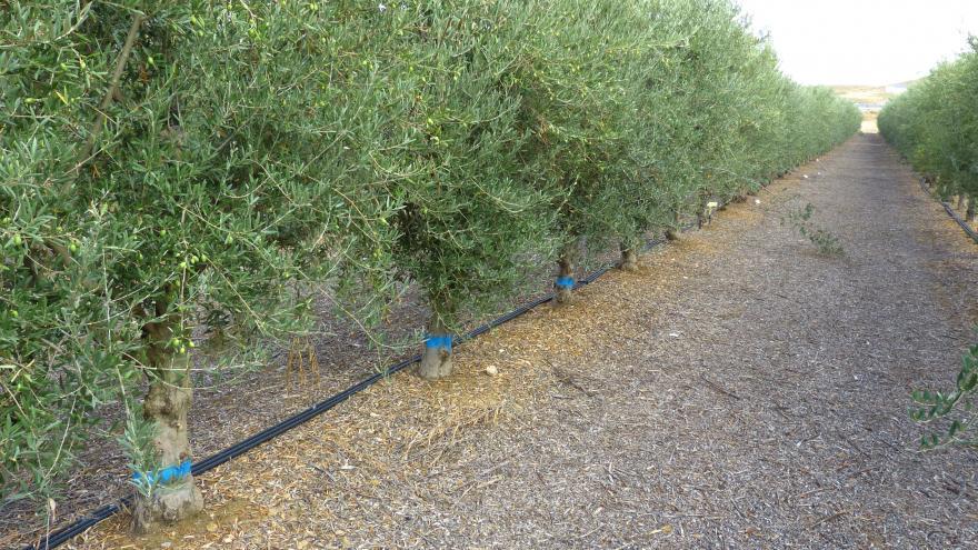 Ensayo riego olivar