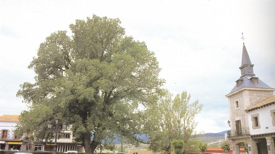 Árbol singular. Olmo del Ayuntamiento. Guadarrama