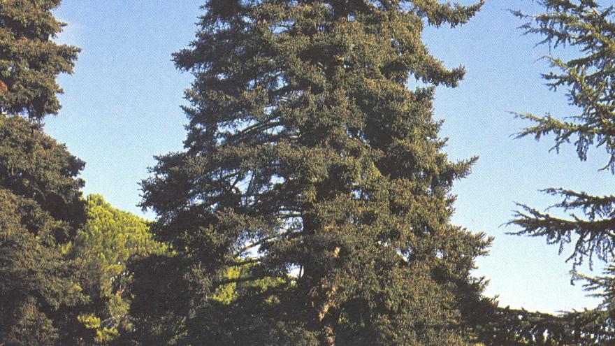 Árbol singular. Pinsapo de la Casita del Príncipe. El Escorial