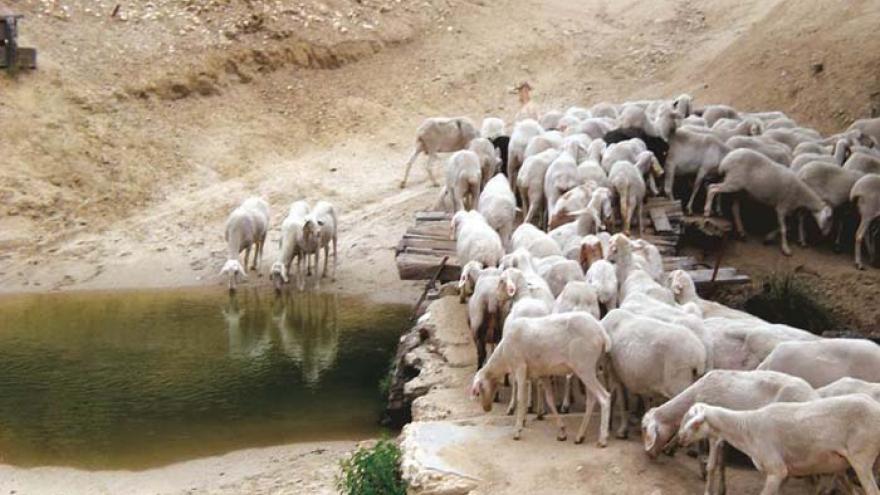 Rebaño de ovejas en el río