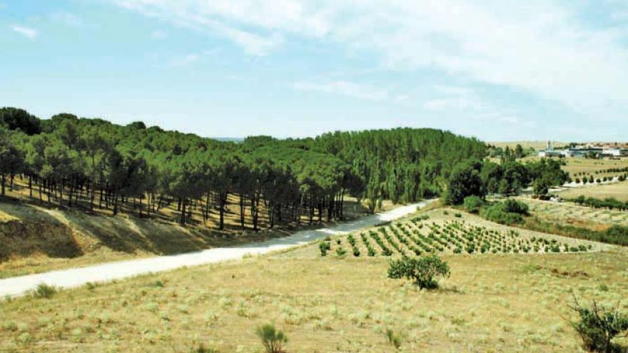 Paisaje de pinares y viñedo en la senda de Móstoles a El Álamo
