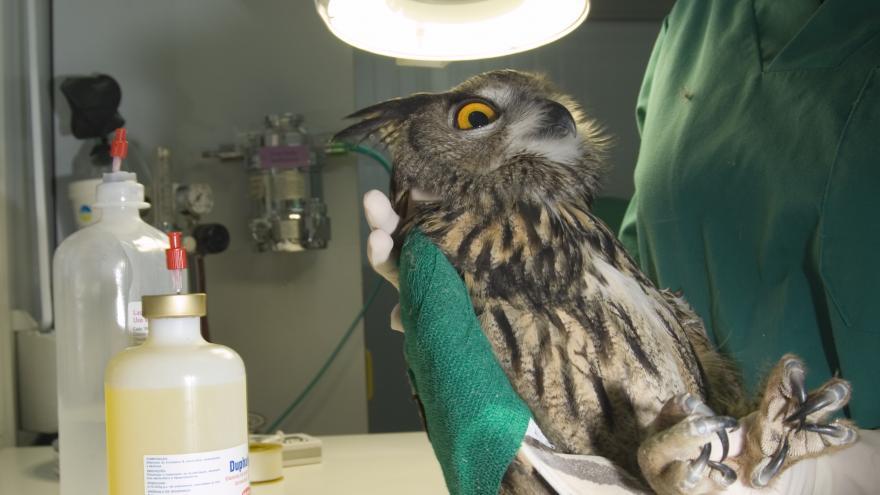 Un ave siendo operada en un quirófano