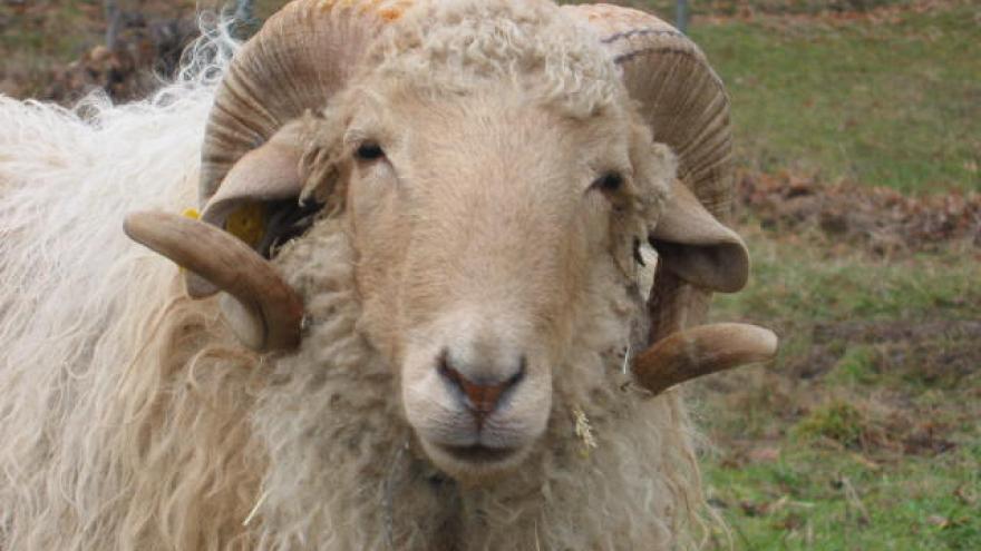oveja de la raza Rubia de El Molar