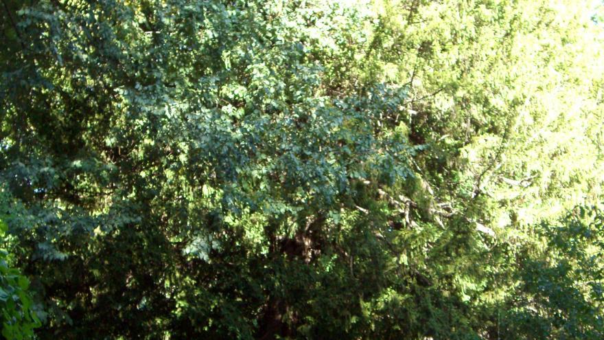 Árbol singular. Tejo del Real Jardín Botánico de Madrid
