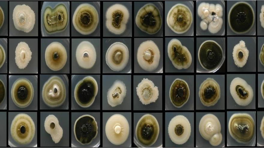 Hongo causante de la enfermedad de Petri en la madera de la vid en el Instituto Madrileño de Investigación y Desarrollo Rural, Agrario y Alimentario (IMIDRA)