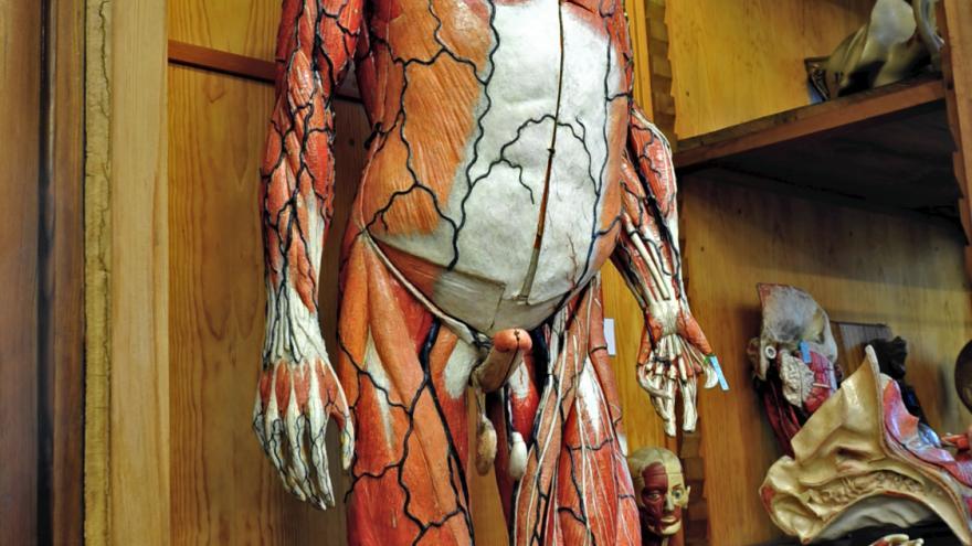 El Gabinete de Historia Natural segunda sala Modelo anatómico humano de tamaño natural
