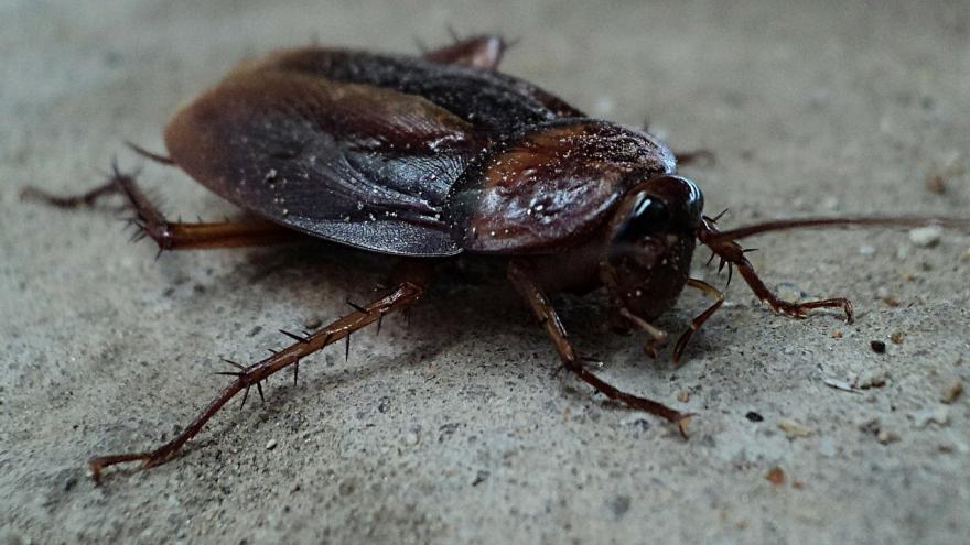 Imagen macro de una cucaracha