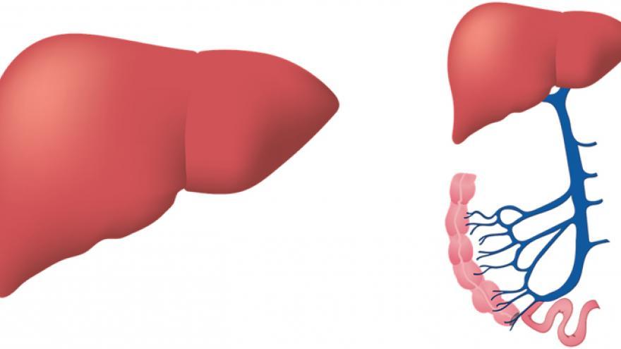 Hígado humano (dibujo)