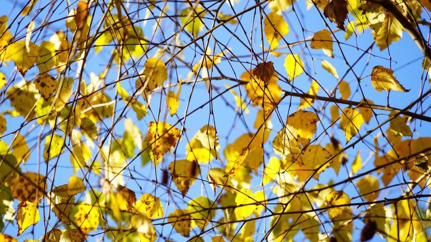 Ramas de Abedul (Betula)