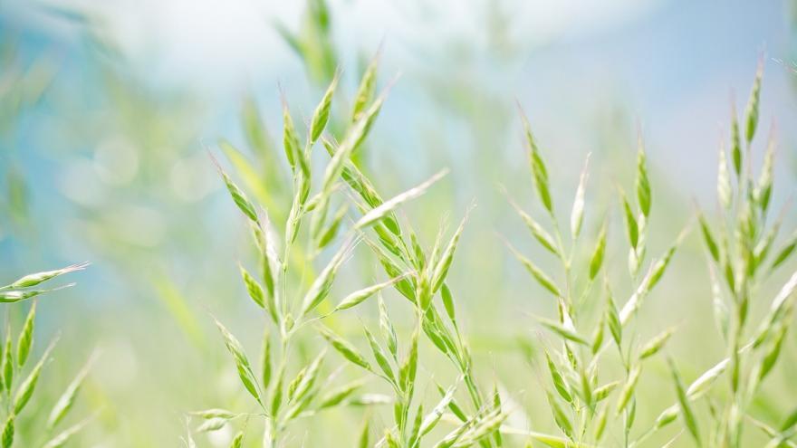 Gramíneas (Poaceae)