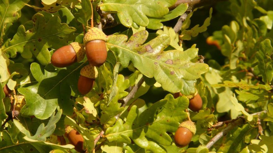 Roble (Quercus)