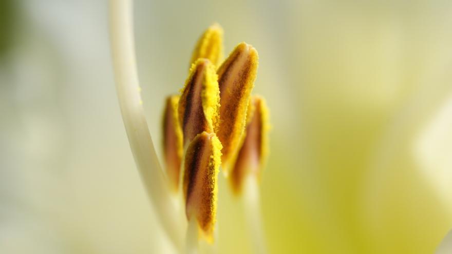 Detalle antera con polen
