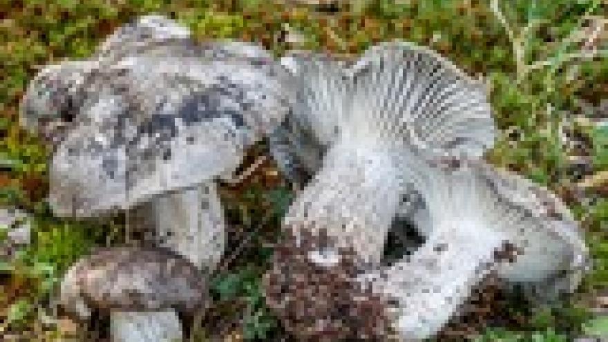 Hygrophorus marzuolus