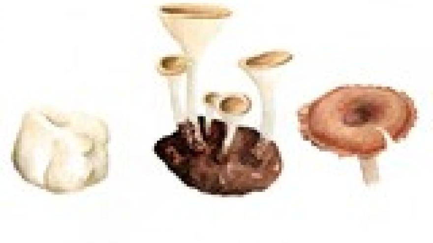 Pleurotus tuber-regium