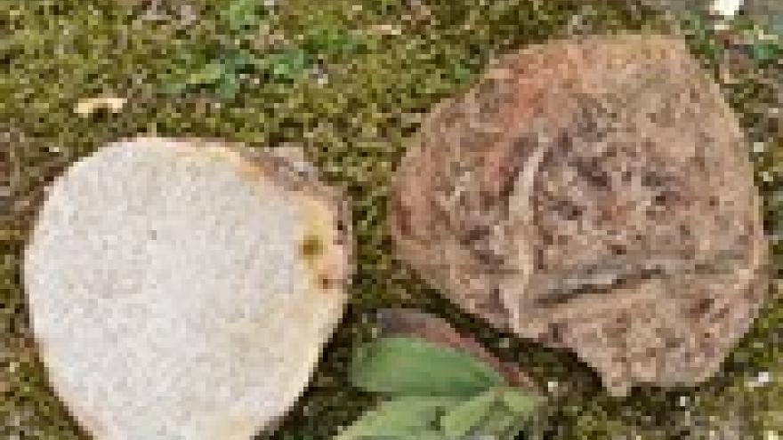 Terfezia arenaria