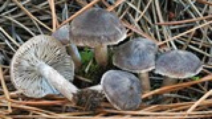 Tricholoma terrerum