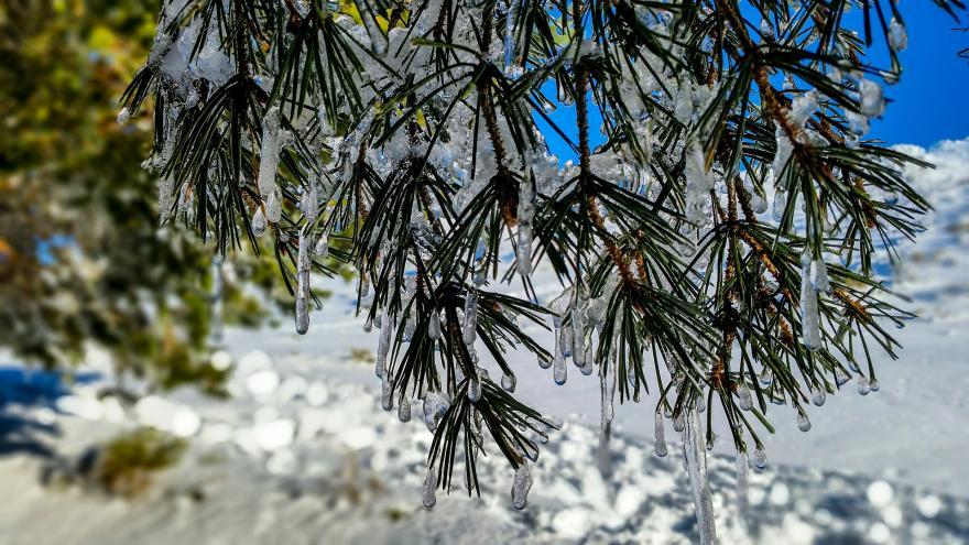 Imagen de unas hojas de pino congeladas