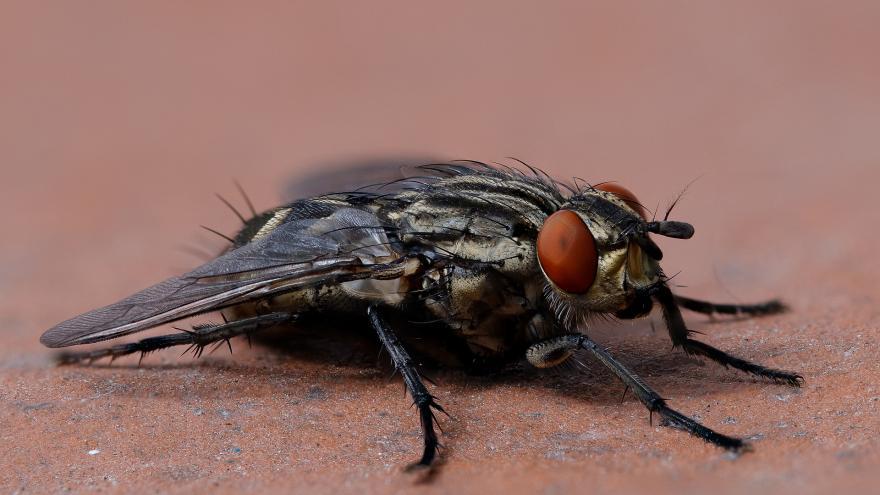 Primer plano de una mosca doméstica