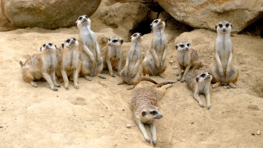 Grupo de suricatos en fila vigilando