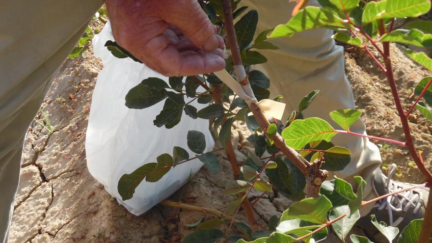 Injertando un árbol de pistachos