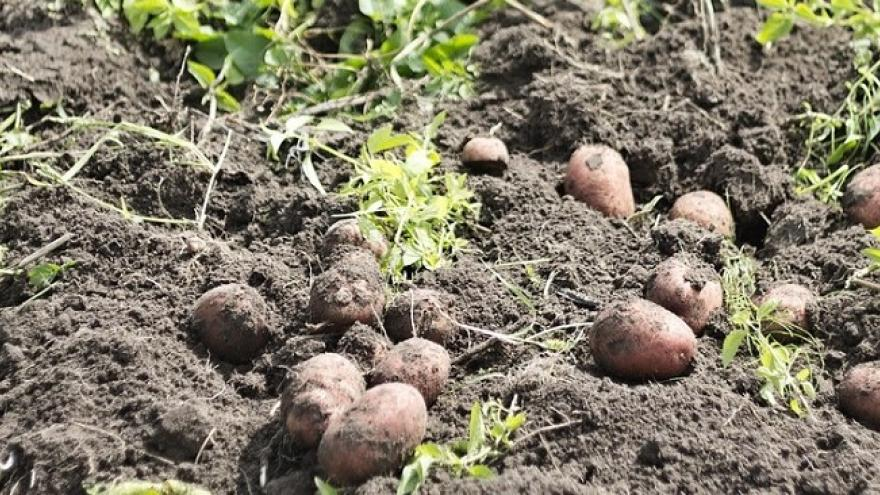 Cosecha patatas
