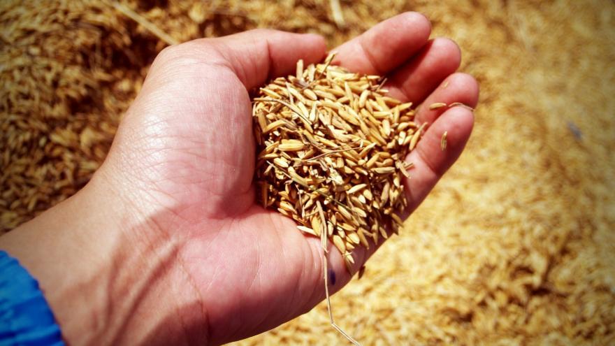 mano sosteniendo granos de arroz recién cosechados