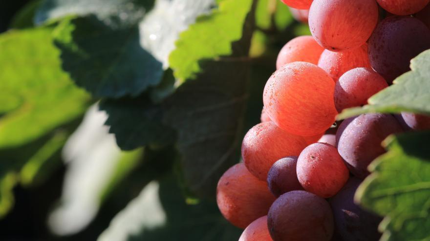 Un racimo de uvas en una parra
