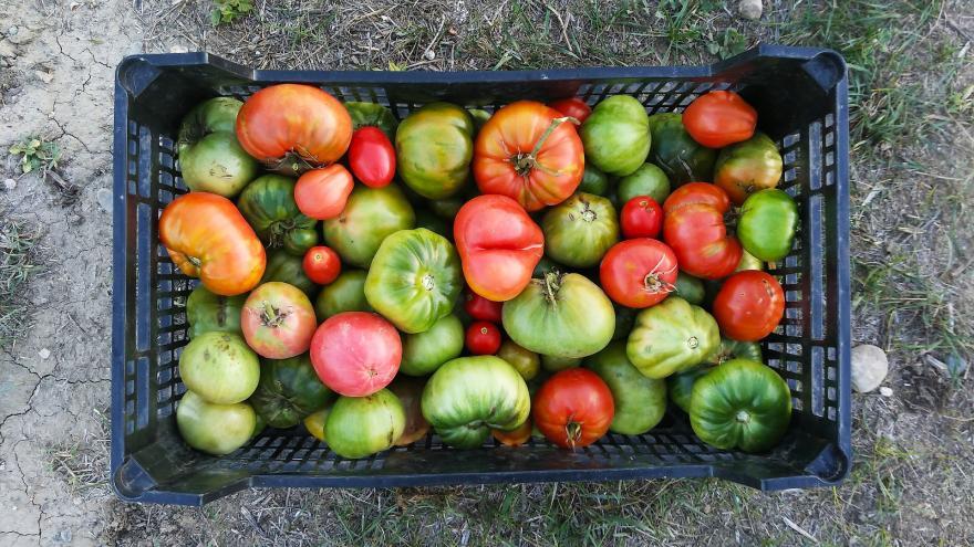 cesta de plástico con tomates verdes, rojos y sonrosados