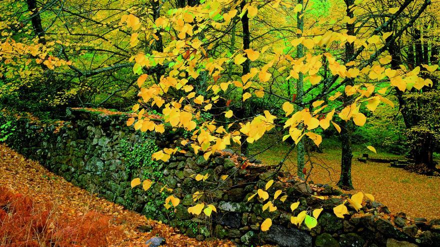 Espacios Naturales Protegidos. Pinar de Abantos y Bosque de la Herreria. Tilos en el castañar