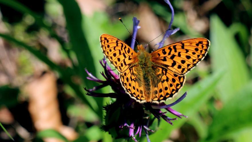 mariposa de colores anaranjados