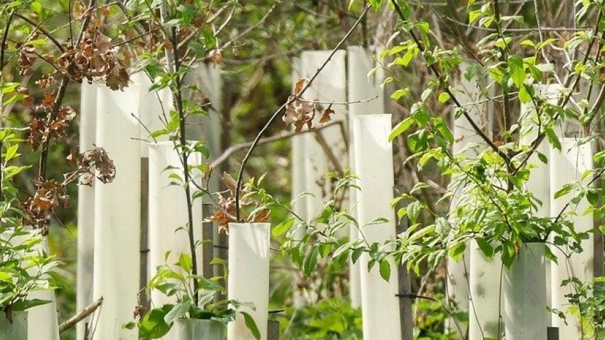 Árboles plantados repoblación