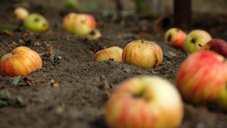 Agroecología manzanas en tierra