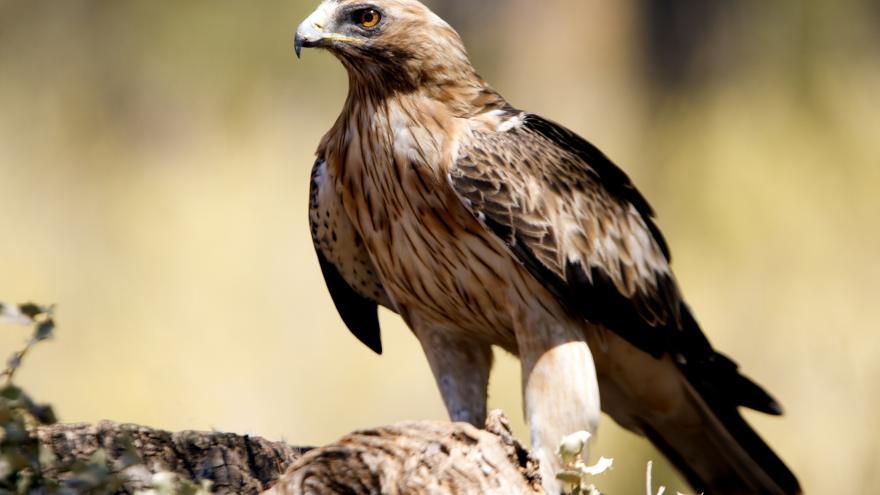 Águila calzada en una roca