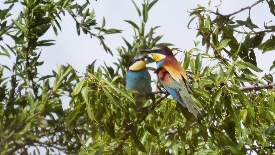 Dos abejarucos en un árbol