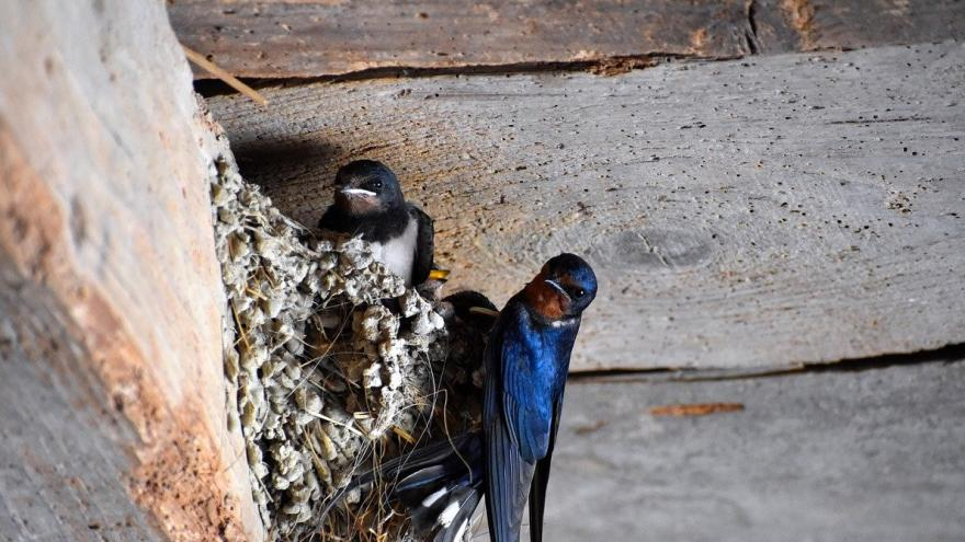Golondrinas en nido casa