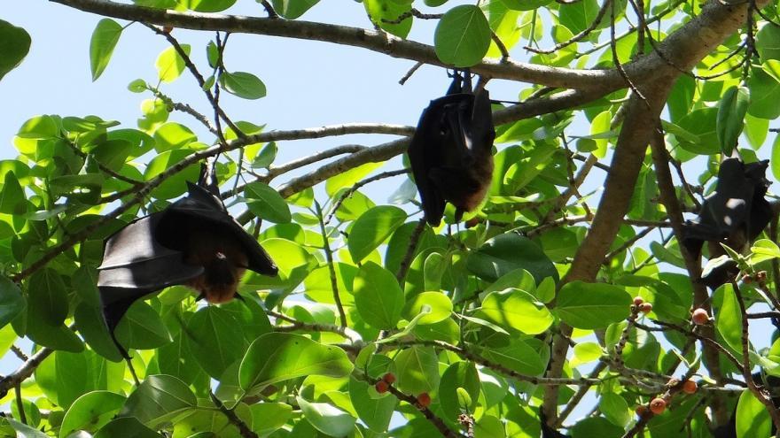 Murciélagos colgados de un árbol