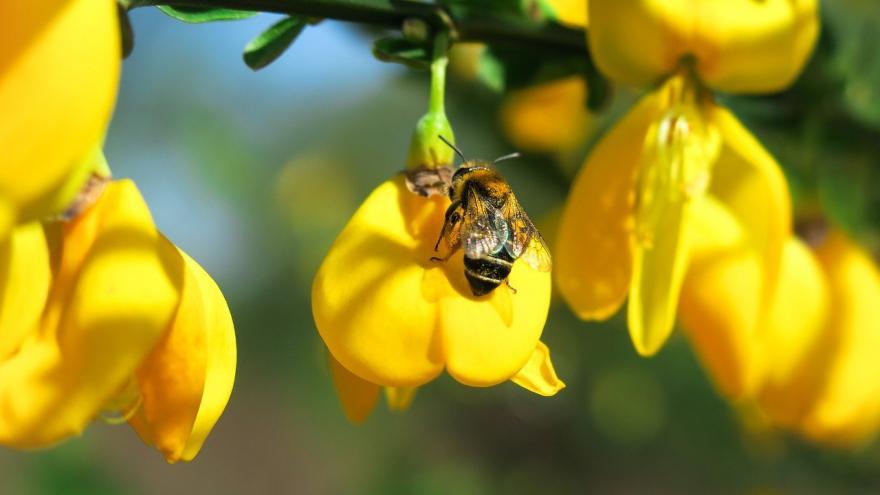 Abeja flores amarillas