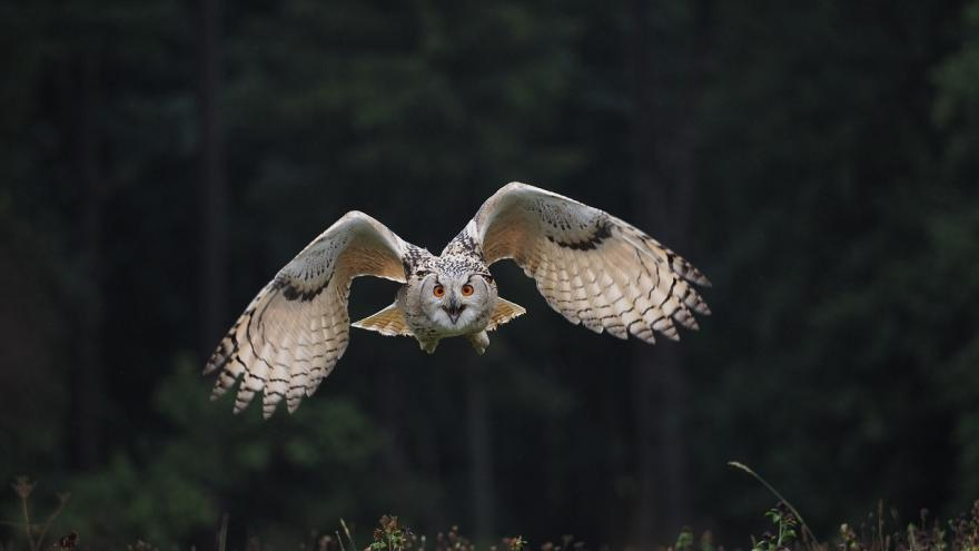 Búho volando