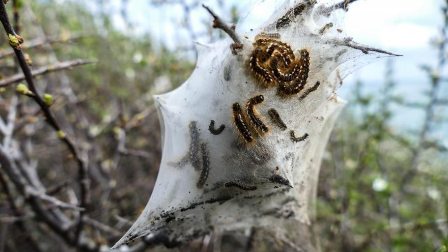 Bola de Procesionaria del pino