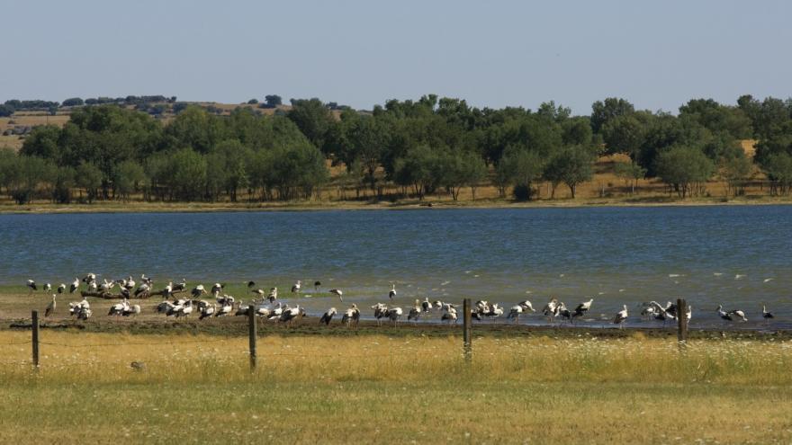 Cigüeñas en el Embalse de Santillana