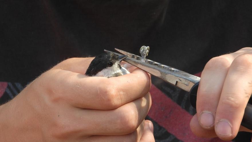 Poniendo un anillo a un ave