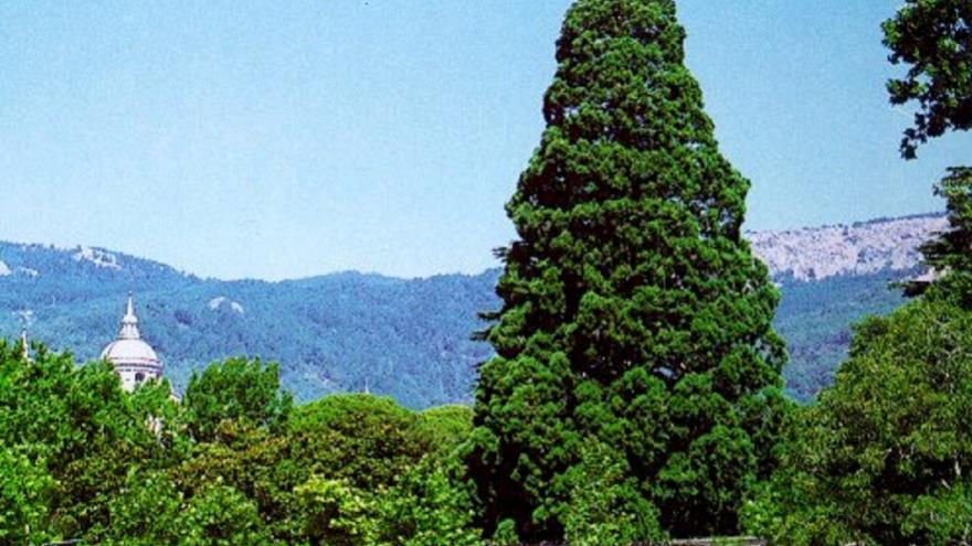 Secuoya gigante jardines de La Casita del Príncipe